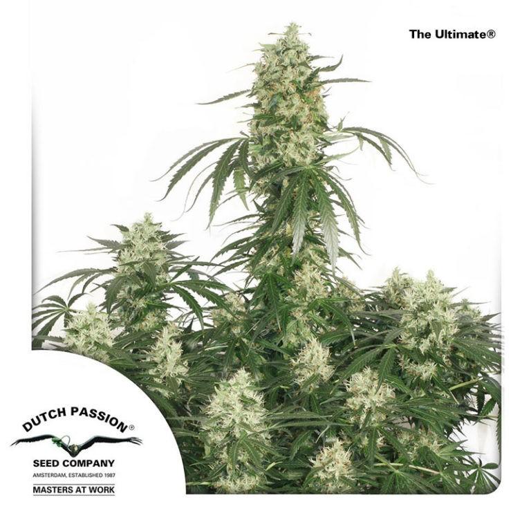 The Ultimate | Dutch Passion - Cannabis Genetics