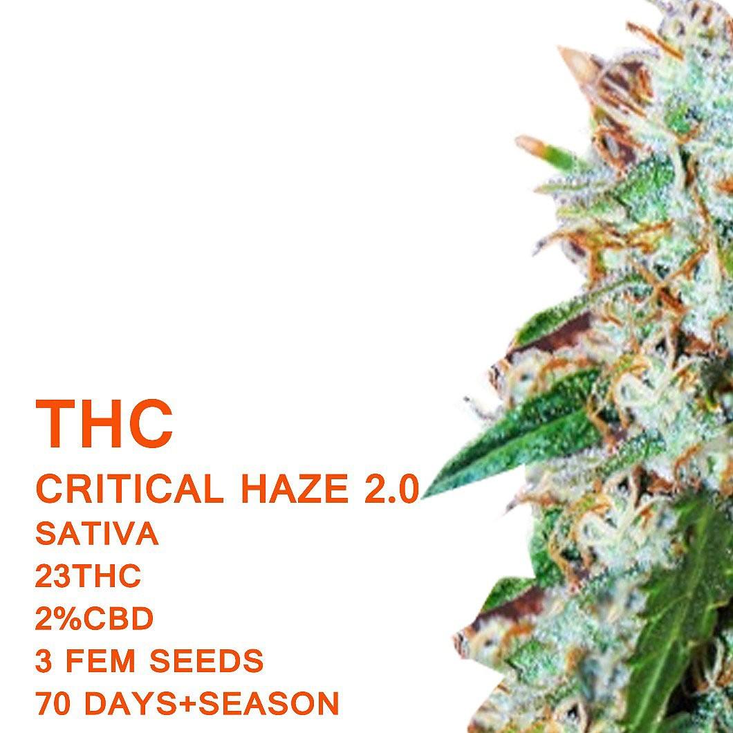 Critical Haze 2.0 | Seedworx Laboratories