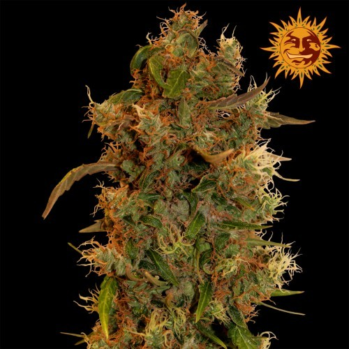 8 Ball Kush | Barney's Farm Seeds - Green Smoke Room