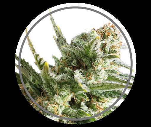 Amnesia | Pachamama Seeds