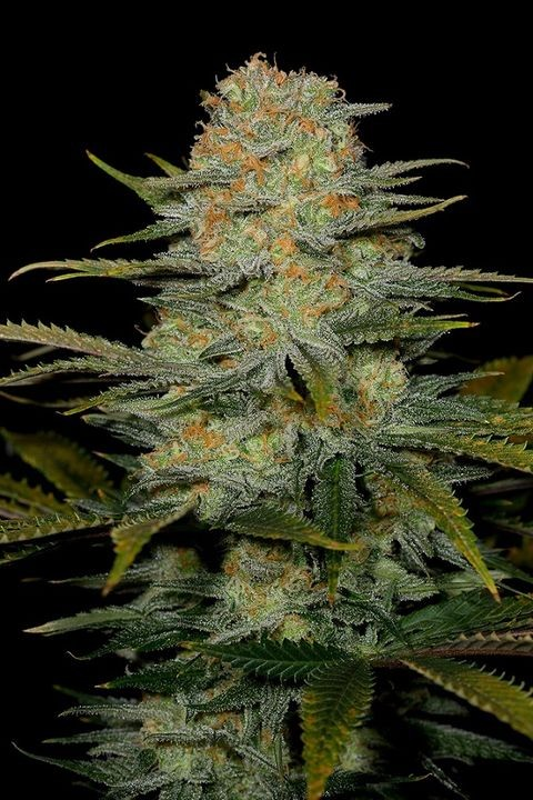 Amnesia CBD | Dinafem Seeds - Green Smoke Room