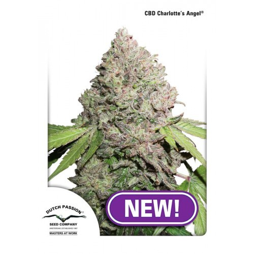 CBD Charlotte's Angel® | Dutch Passion - Green Smoke Room