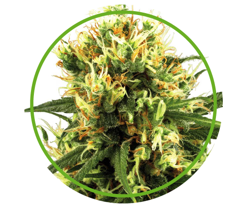 Haze Auto | Pachamama Seeds