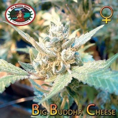 Big Buddha Cheese | Big Buddha Seeds - Trophy Seeds