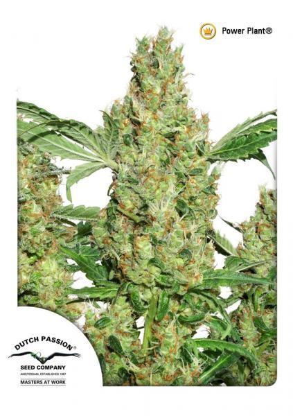 Power Plant | Dutch Passion - Trophy Seeds