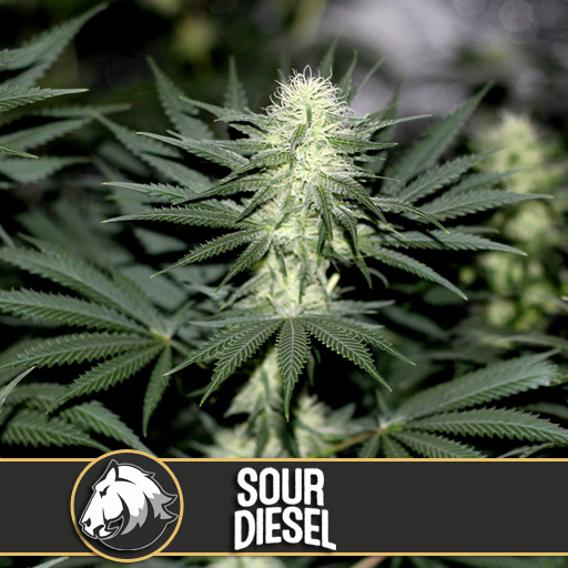 Sour Diesel | Blimburn Seeds - Trophy Seeds