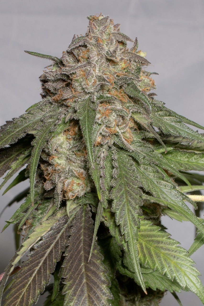 Blueberry Headband | Humboldt Seed Organisation - Trophy Seeds