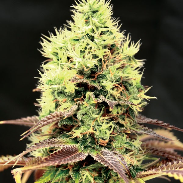Kush 'N' Cookies CBD | Garden Of Green - Trophy Seeds