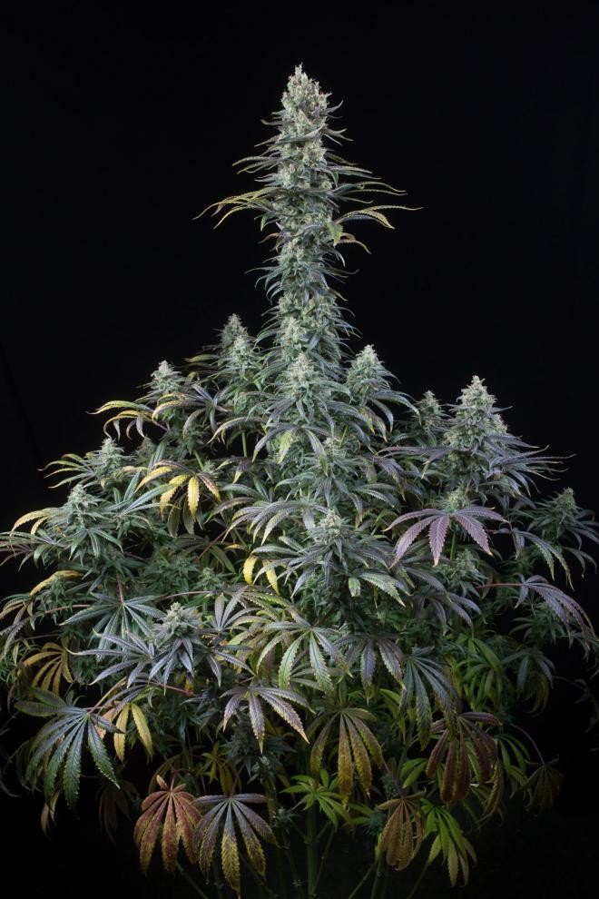 Early Amnesia CBD | Dinafem Seeds - Seedly