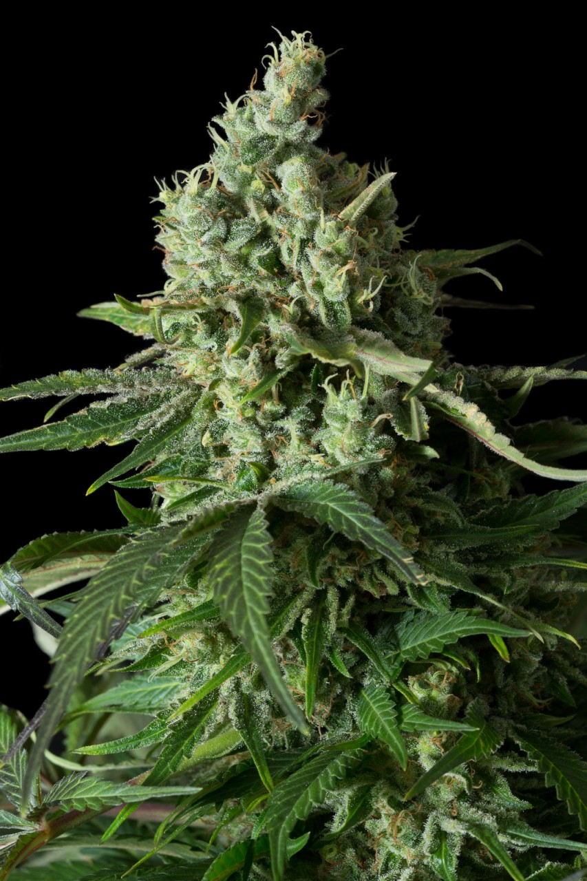 Moby Dick CBD | Dinafem Seeds - Seedly