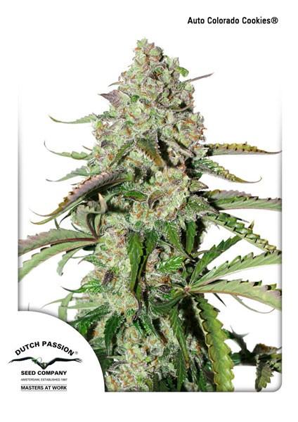 Auto Colorado Cookies® | Dutch Passion - Sacred Seeds