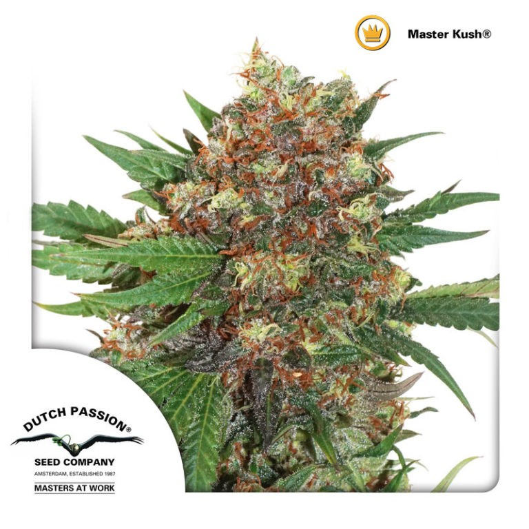 Master Kush | Dutch Passion - Cannabis Genetics