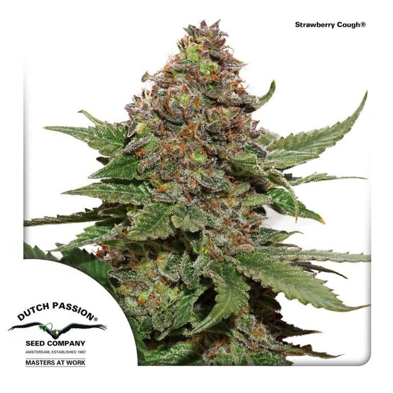 Strawberry Cough | Dutch Passion - Cannabis Genetics