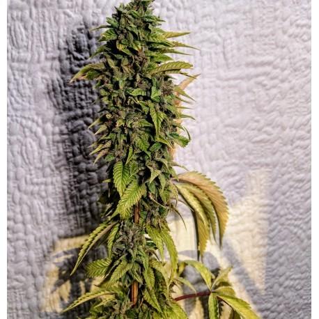 Holy Smoke Seeds | London OG - CannaMart